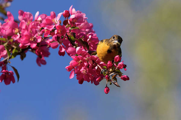 Wall Art - Photograph - Baltimore Oriole In Blossom by Mircea Costina Photography