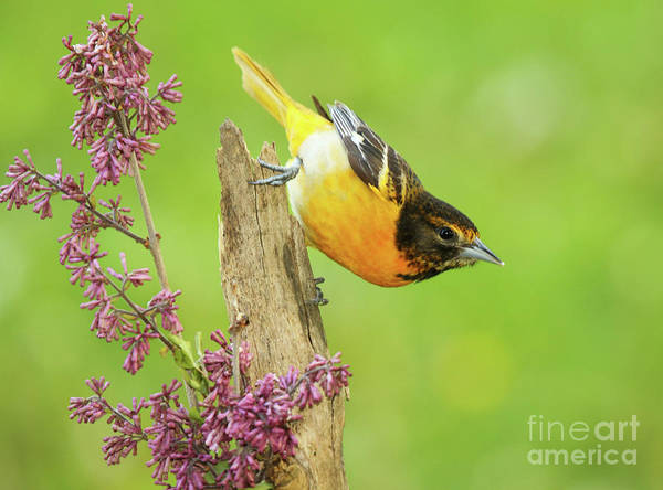 Wall Art - Photograph - Baltimore Oriole Leaning Away by Max Allen