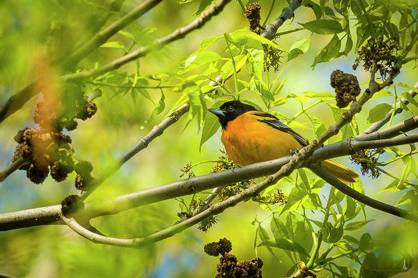 Photograph - Baltimore Oriole - Magee Marsh, Ohio by Jack R Perry