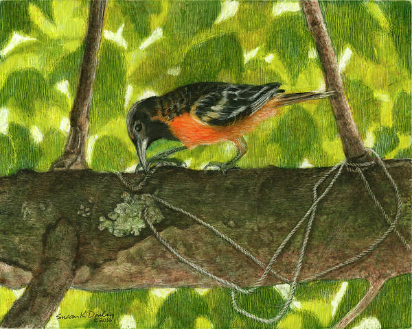 Oriole Drawing - Baltimore Oriole Starting A Nest by Susan Donley