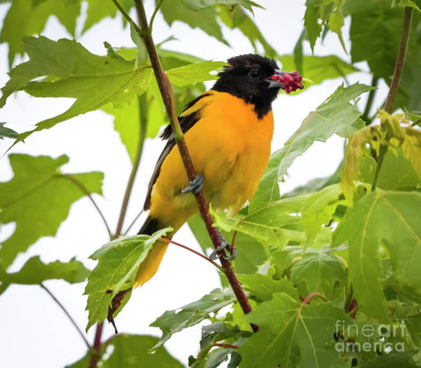 Photograph - Baltimore Oriole With Raspberry  by Ricky L Jones