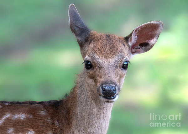 Photograph - Bambi by Eyeshine Photography