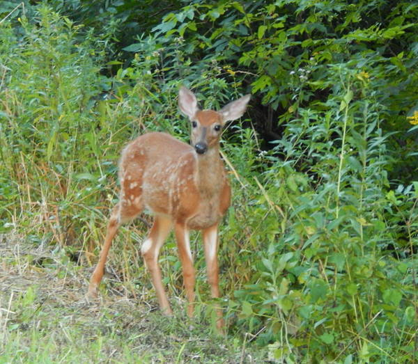 Photograph - Bambi Pauses by Wild Thing