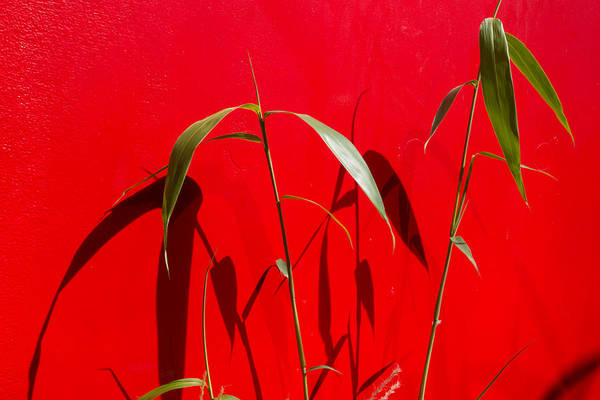 Photograph - Bamboo Against Red Wall by SR Green