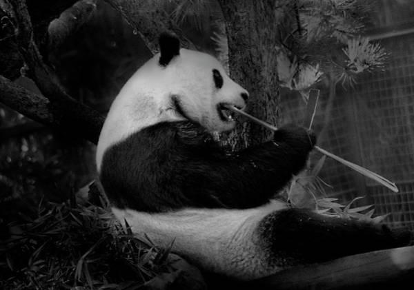 Photograph - Bamboo, Bamboo, Bamboo by Maria Reverberi
