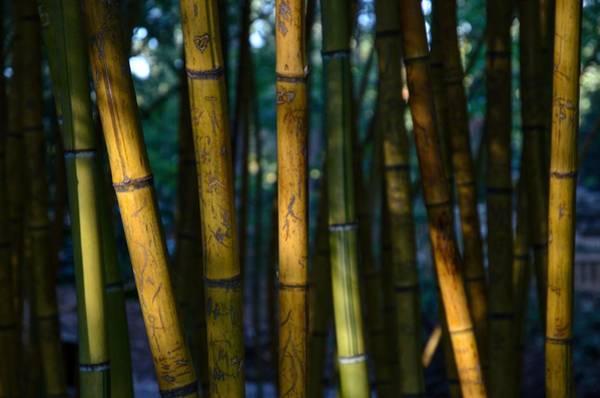 Brian Wilson Wall Art - Photograph - Bamboo by Brian Wilson