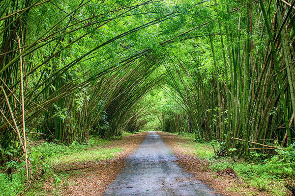 Photograph - Bamboo Cathedral Trinidad by Rachel Lee Young