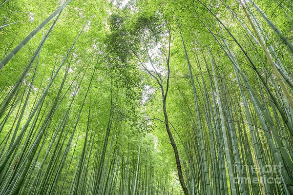 Wall Art - Photograph - Bamboo Forest In Kyoto, Japan by Julia Hiebaum