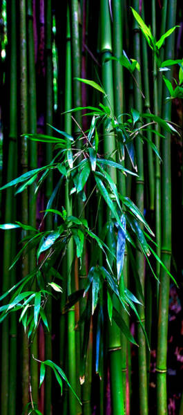 Bamboo Photograph - Bamboo by James Roemmling