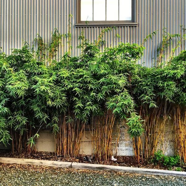 Wall Art - Photograph - Bamboo by Julie Gebhardt