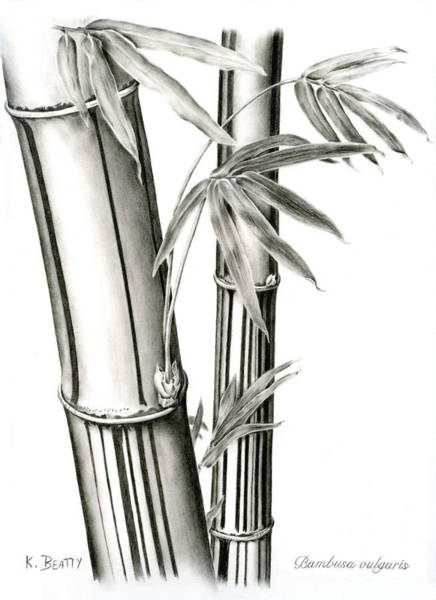 Drawing - Bamboo by Karla Beatty