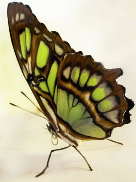 Wall Art - Photograph - Bamboo Page Butterfly by Winnie Chrzanowski