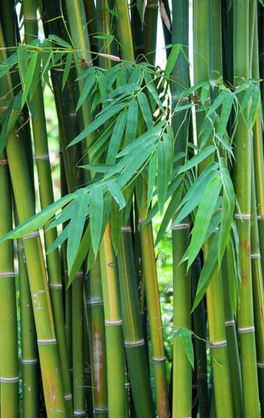 Bamboo Shoots Photograph - Bamboo Shoots by Maria Keady