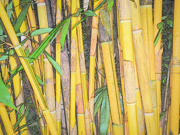 Photograph - Bamboo Sketch by Patti Deters
