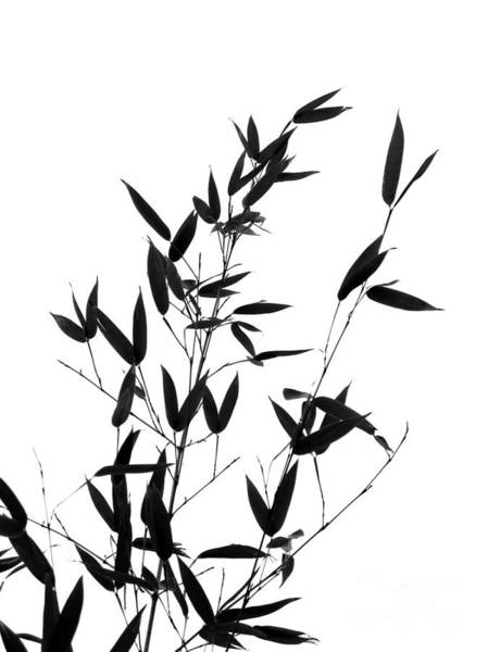 Bamboo Shoots Photograph - Bamboo Tree And Branches by Yali Shi
