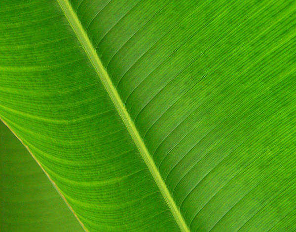 Photograph - Banana Leaf Abstract by Vicki Hone Smith