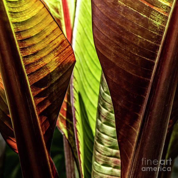 Photograph - Banana Leaf Jungle by Brad Allen Fine Art