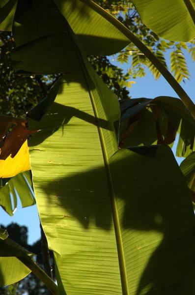 Photograph - Banana Leaf by Kathi Shotwell