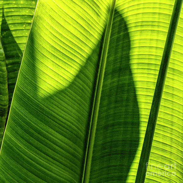 Photograph - Banana Leaf Stem by Brad Allen Fine Art