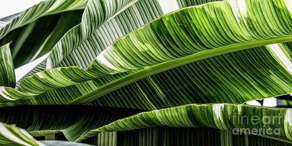 Photograph - Banana Leaves Ix by Brad Allen Fine Art