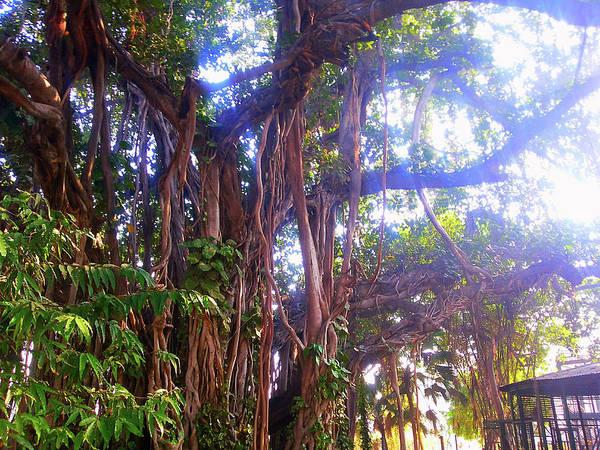 Photograph - Banana Tree by Atullya N Srivastava