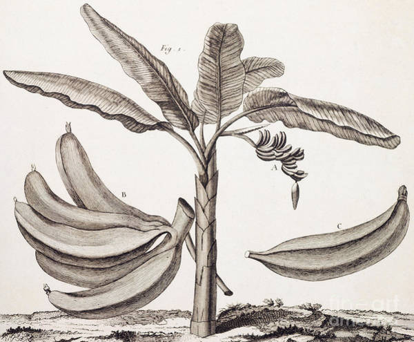 Organic Drawing - Banana Tree by Denis Diderot