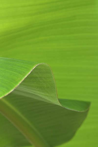 Photograph - Banana Tree Leaves by Richard Rizzo