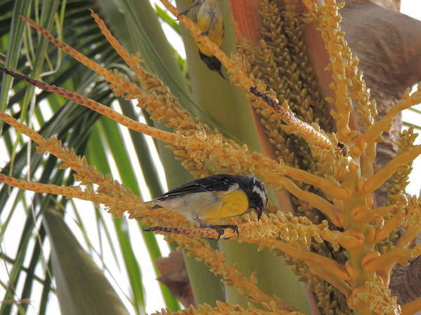 Photograph - Bananaquit Sugar Bird 2 by Kimberly Perry
