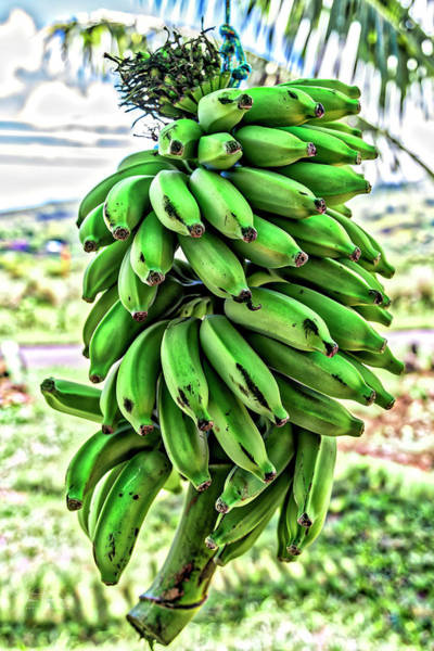 Photograph - Bananas by Jim Thompson