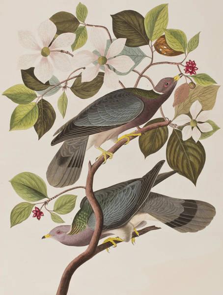Twig Painting - Band-tailed Pigeon  by John James Audubon