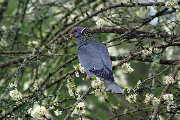 Photograph - Band-tailed Pigeons #10 by Ben Upham III