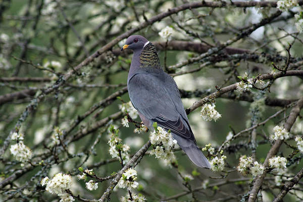 Photograph - Band-tailed Pigeons #11 by Ben Upham III