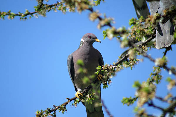 Photograph - Band-tailed Pigeons #12 by Ben Upham III