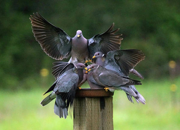 Photograph - Band-tailed Pigeons #14 by Ben Upham III