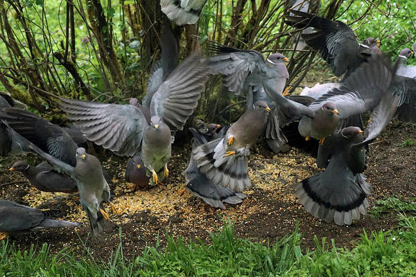 Photograph - Band-tailed Pigeons #15 by Ben Upham III