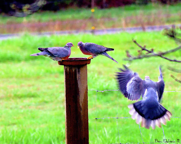 Photograph - Band-tailed Pigeons #2 by Ben Upham III