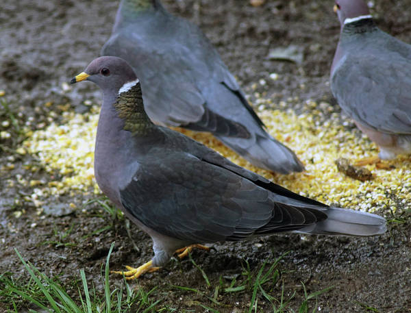 Photograph - Band-tailed Pigeons #4 by Ben Upham III