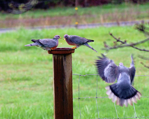 Photograph - Band-tailed Pigeons #5 by Ben Upham III