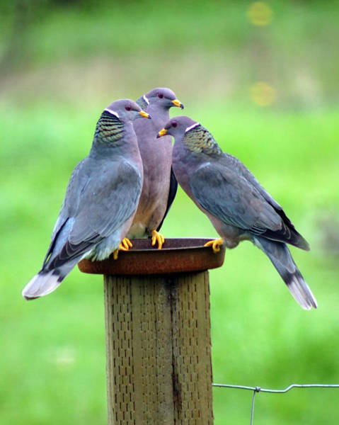 Photograph - Band-tailed Pigeons #9 by Ben Upham III