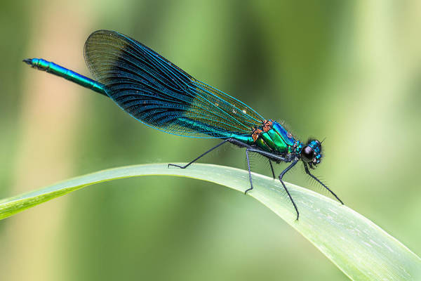 Dragonflies Photograph - Banded Demoiselle by Ian Hufton