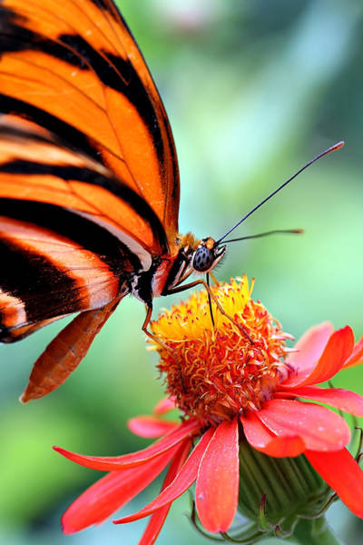 Wall Art - Photograph - Banded Orange Butterfly by Celestial Blue