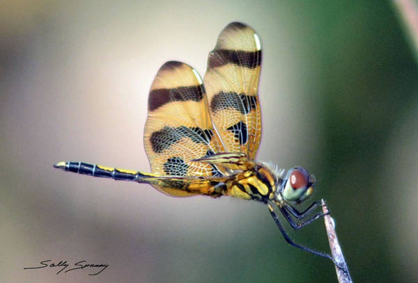 Pyrography - Banded Pennant by Sally Sperry