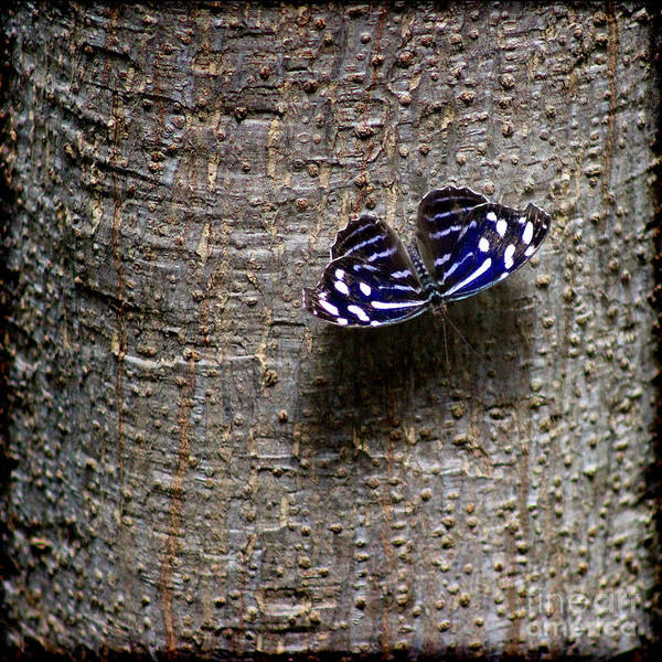 Photograph - Banded Purplewing Butterfly On Tree Square by Karen Adams