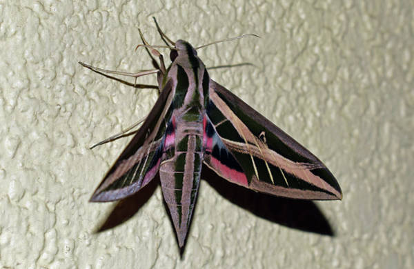 Photograph - Banded Sphinx Moth by Larah McElroy