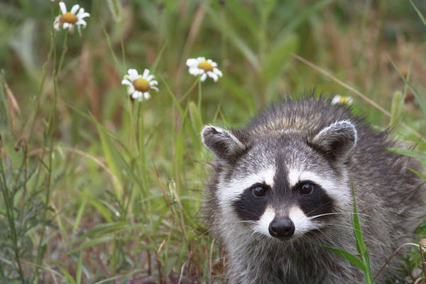 Photograph - Bandit Buddy by Susan Rissi Tregoning