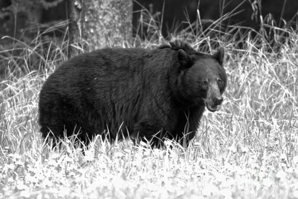Photograph - Banff Black Bear In Black And White by Adam Jewell