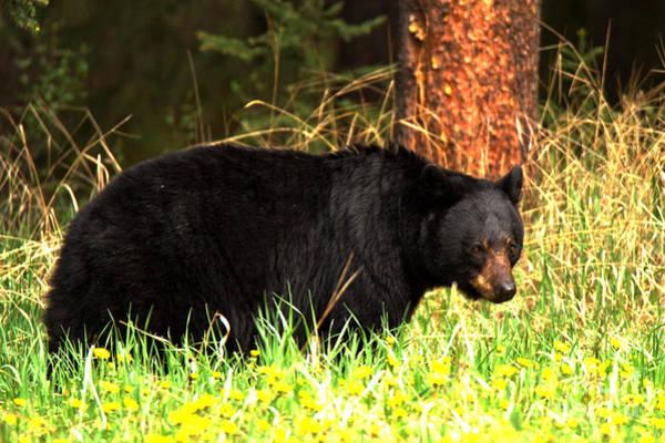 Photograph - Banff Bow Valley Black Bear by Adam Jewell
