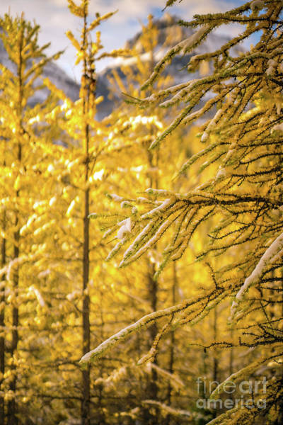 Wall Art - Photograph - Banff Larch Valley Forest Of Gold by Mike Reid