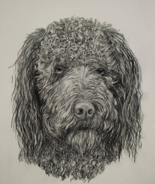 Drawing - Banjo Labradoodle by Nancy Lauby