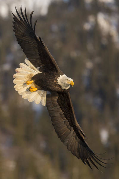 Photograph - Banking Bald Eagle by D Robert Franz